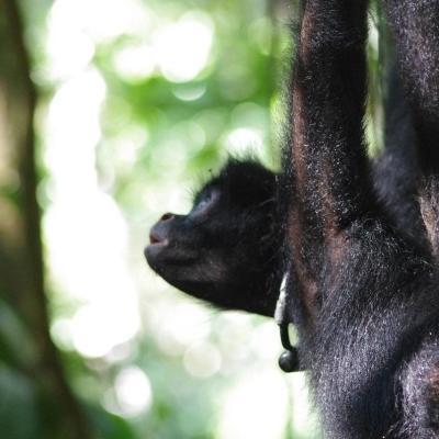 Peruaanse slingeraap is een bedreigde diersoort als gevolg van menselijke invloeden en wordt geintroduceerd in het Taricaya Ecological Reserve in Peru